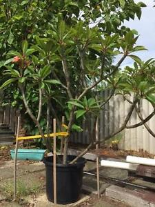 Fruit Salad / Pink/ Tradition White Frangipanis for sale Alfred Cove Melville Area Preview