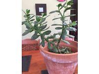Small Money Plant