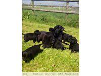 Stunning Litter of KC Black Labrador Pups