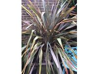 PHORMIUM - FLAX LILY - decorative garden plant. Variety: Sundowner, not spikey