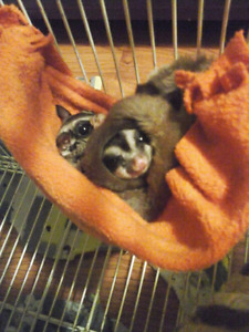 Two suger gliders with cage.