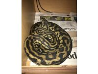 Female Carpet python snake