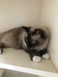 "Adult Male Cat - Ragdoll-Siamese: ""Tommy"""