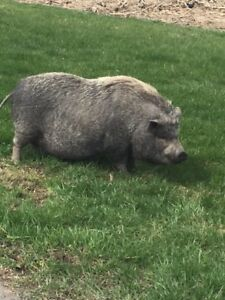 FREE to a GOOD HOME - Family PIG