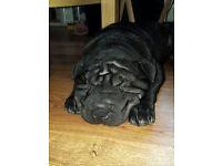 Kc Reg Black Shar Pei 15 weeks old.