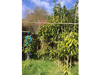 bamboo plants - various heights
