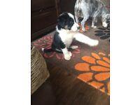 Border collie puppy boy