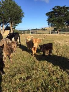 Highland Cow and calf Mirboo North South Gippsland Preview
