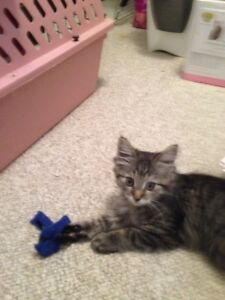 "Baby Female Cat - Domestic Medium Hair: ""Belle"""