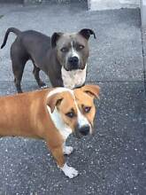 Purebred American Staffy Puppies with papers Bunbury Bunbury Area Preview