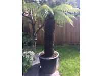 Mature Tree Fern 113cm