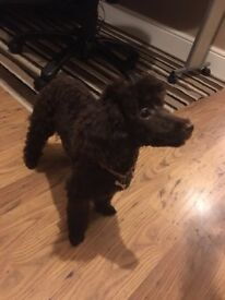 CHOCOLATE TOY POODLE BITCH FOR SALE £750