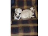 Siamese kittens £400