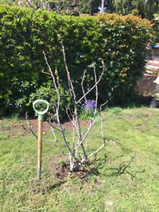 FIG TREE FOR SALE