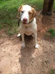 "Adult Female Dog - Labrador Retriever-Pointer: ""Jollie"""