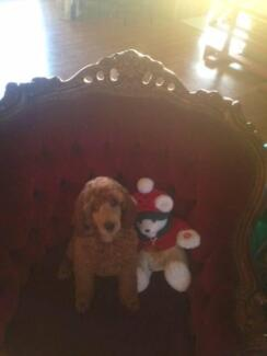Purebred Standard Poodle Pups Caboolture Caboolture Area Preview