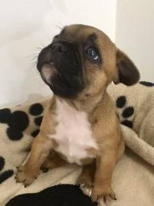FRENCH BULLDOG PUPPIES Maroochydore Maroochydore Area Preview