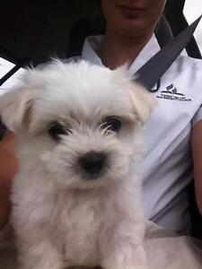 Purebred Maltese puppies Murwillumbah Tweed Heads Area Preview