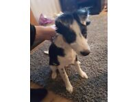 female border collie puppy for sale
