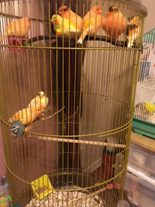 Canaries for sale - Males and Females