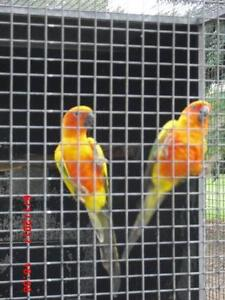 H/R SUN CONURE PAIR - WELL-BONDED - MALE PIED - FEMALE VERY RED Caboolture Caboolture Area Preview