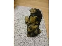 beautiful mini Yorkshire Terrier pupy ready for new home