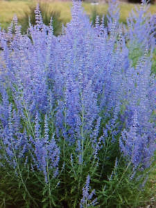 Russian Sage bushes - young plants