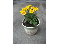 Plant Marigold in decorative pot