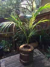 Rustic pot with Golden Cane Palm Berowra Heights Hornsby Area Preview