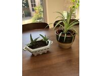 Plant Pot with two Aloe Plants and a Medium Pot with a Spider Plant. Collect from Fulham