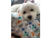 Absolutely a lovely male Bichon frise