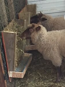Homemade goat / sheep feeder