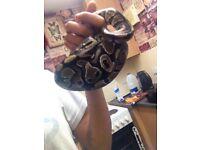 Royal python