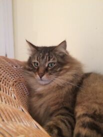 £1000 REWARD for SAFE RETURN OF MISSING NORWEGIAN FOREST CAT