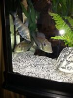 EARTH EATER CICHLIDS - PAIR
