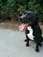 "Adult Male Dog - Pit Bull Terrier: ""Enzo"""