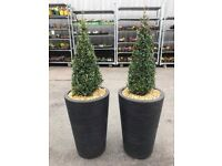 Large rubber pots with buxus trees