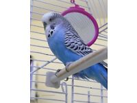 Blue Pet Budgie Looking for Warming Home.
