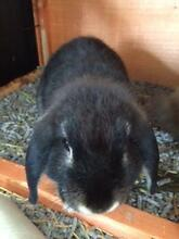 2 mini lop rabbits for sale - 3 months old Putney Ryde Area Preview