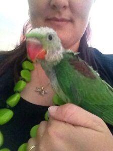 Baby alexanderine parrot hand raised bird Collingwood Park Ipswich City Preview