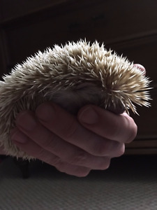 1.5yr old Male Hedge Hog