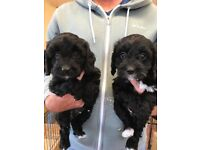 Stunning F1 Cavapoo puppies from HEALTH TESTED PARENTS.