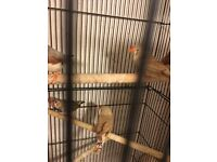 Finches with small cage for sale
