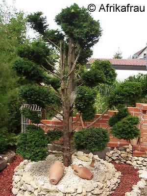Mein Traum - Baum