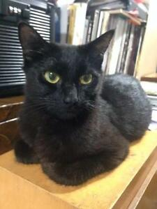 Young Female  - Domestic Short Hair-Domestic Short Hair-black