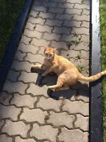 Orange Male Cat