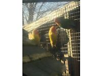 3 peach faced lovebirds beautiful birds good healthy condition 2 cocks 1 hen about 18 months £45