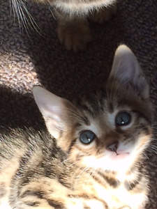 TICA registered purebred baby bengals ready mother's day
