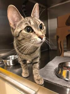 "Young Female Cat - Domestic Short Hair-Tabby: ""Star"""