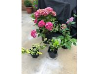 4 Outdoor plants: Euonymus, Hydrangea,Japanese Anemone, Skimmia. Collect from Fulham